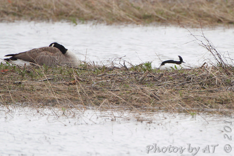 Canada Goose and Bufflehead <br /> Columbia Bottom Conservation Area