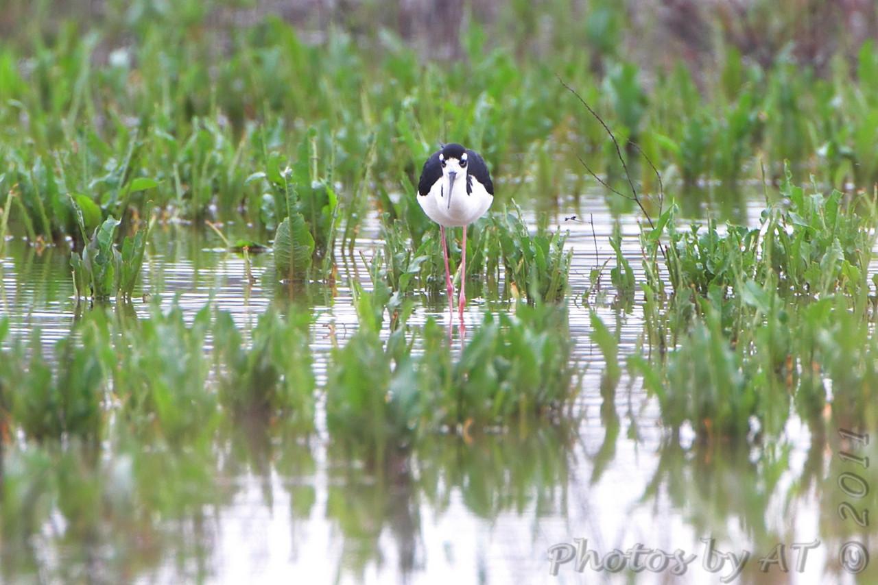 Black-necked Stilt <br /> Otter Slough Conservation Area