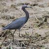 Little Blue Heron <br /> Duck Creek Conservation Area