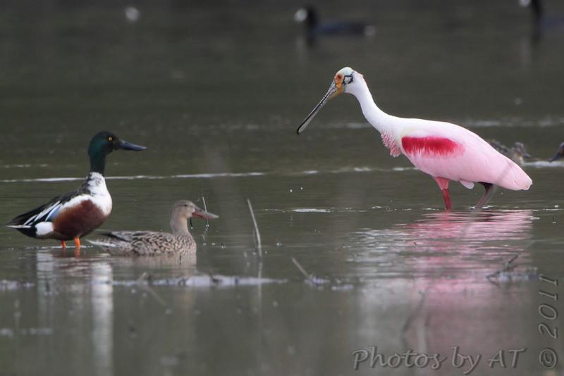Roseate Spoonbill and  Northern Shovelers  Mingo National Wildlife Refuge  Luken Farm Track