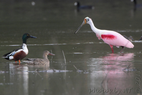 Roseate Spoonbill and  Northern Shovelers  Mingo National Wildlife Refuge  Luken Farm Track  *** 11th State Record • 1st Missouri Spring Record ***