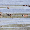Eurasian Wigeon <br /> 8th state record - first since 1985 <br /> and American Wigeon <br /> Squaw Creek National Wildlife Refuge
