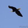Bald Eagle <br /> Squaw Creek National Wildlife Refuge