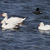 Ross's and Snow Geese <br /> Squaw Creek National Wildlife Refuge