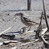 American Pipit <br /> Squaw Creek National Wildlife Refuge