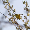 Yellow Warbler <br /> Squaw Creek National Wildlife Refuge