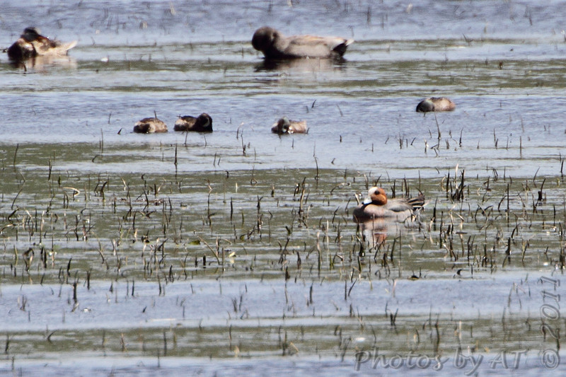 Eurasian Wigeon <br /> 8th state record - first since 1985 <br /> Squaw Creek National Wildlife Refuge