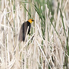 Yellow-headed Blackbird <br /> Squaw Creek National Wildlife Refuge
