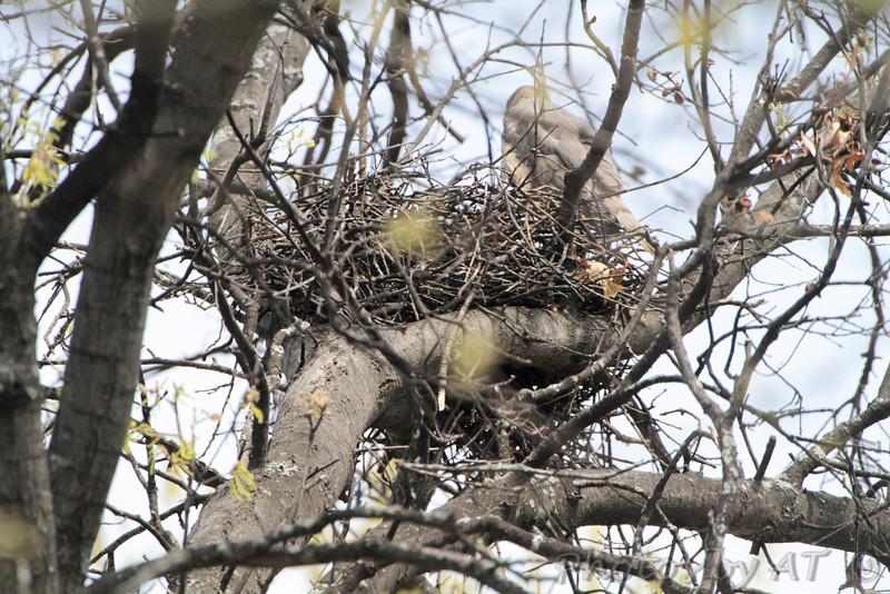 Cooper's Hawk Nest <br /> Muro Lane <br /> Bridgeton, Mo.