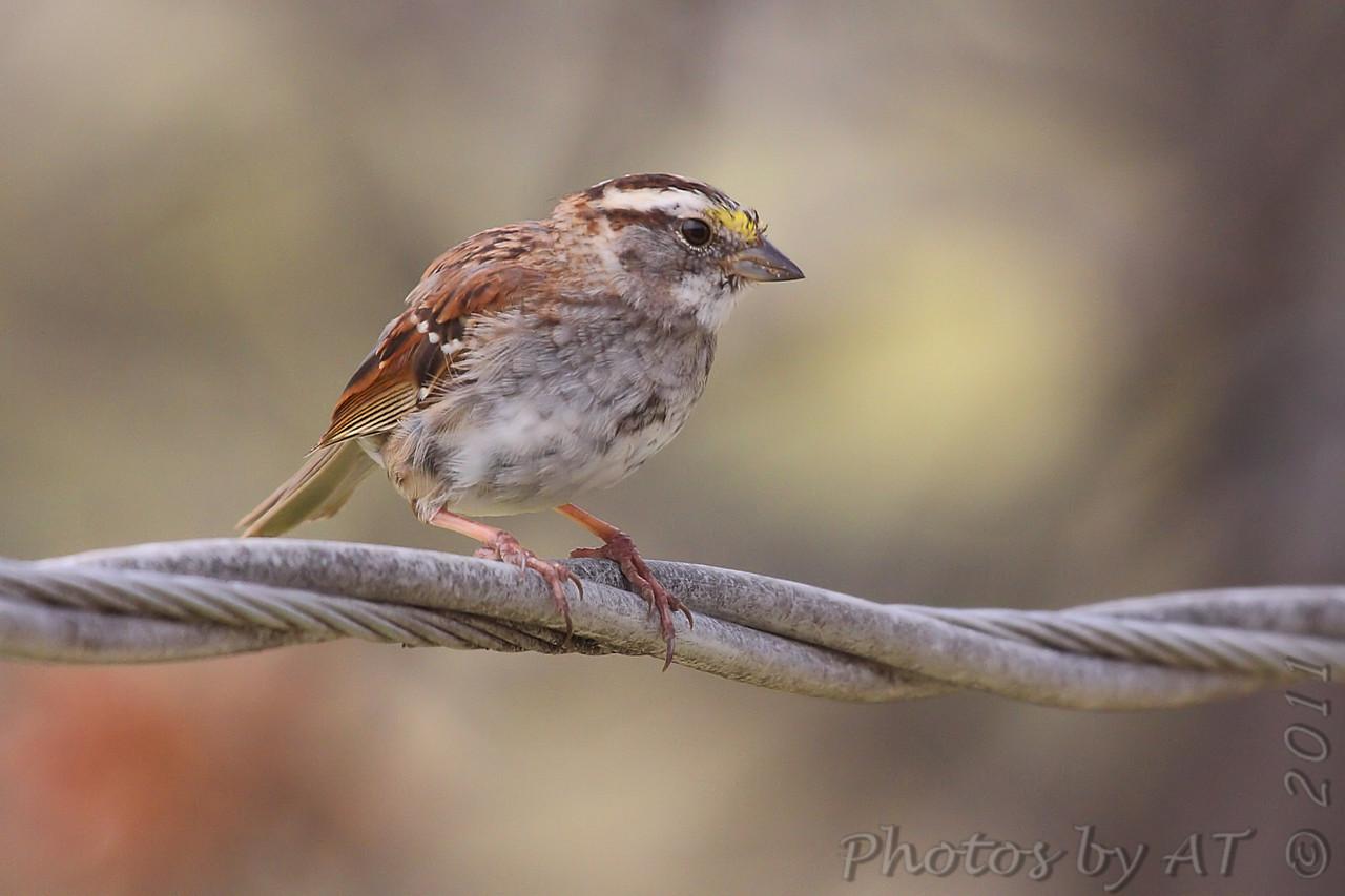 White-throated Sparrow <br /> Bridgeton, Mo. <br /> 4/7/2011