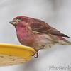 Purple Finch <br /> Bridgeton, Mo. <br /> 4/7/11