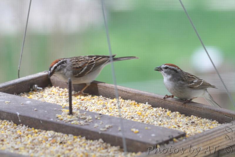 Chipping Sparrows <br /> Bridgeton, Mo. <br /> 4/7/11