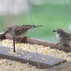 Chipping Sparrows <br /> City of Bridgeton <br /> St. Louis County, Missouri <br /> 4/7/11
