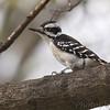 Hairy Woodpecker <br /> Bridgeton, Mo. <br /> 4/7/11