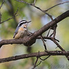 Red-breasted Nuthatch <br /> City of Bridgeton <br /> St. Louis County, Missouri <br /> 4/17/11
