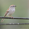 Chipping Sparrow <br /> City of Bridgeton <br /> St. Louis County, Missouri <br /> 4/7/11