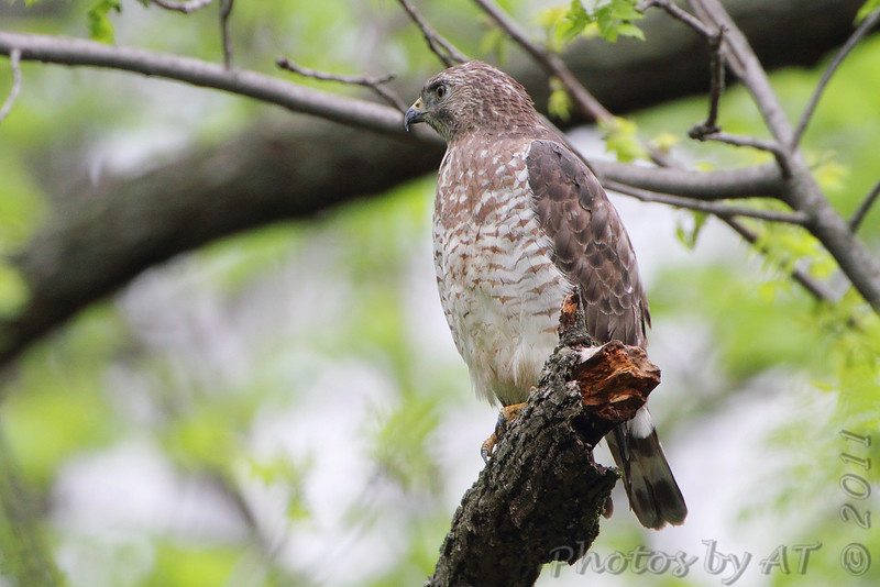 Broad-winged Hawk <br /> From my sister's yard <br /> St. Charles Co.<br /> 4/23/11