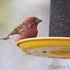 Purple Finch <br /> Bridgeton, Mo. <br /> 4/8/11