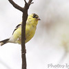 American Goldfinch <br /> City of Bridgeton <br /> St. Louis County, Missouri  <br /> 4/7/11
