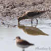 Pectoral Sandpiper <br /> Entrance pool <br /> Confluence State Park