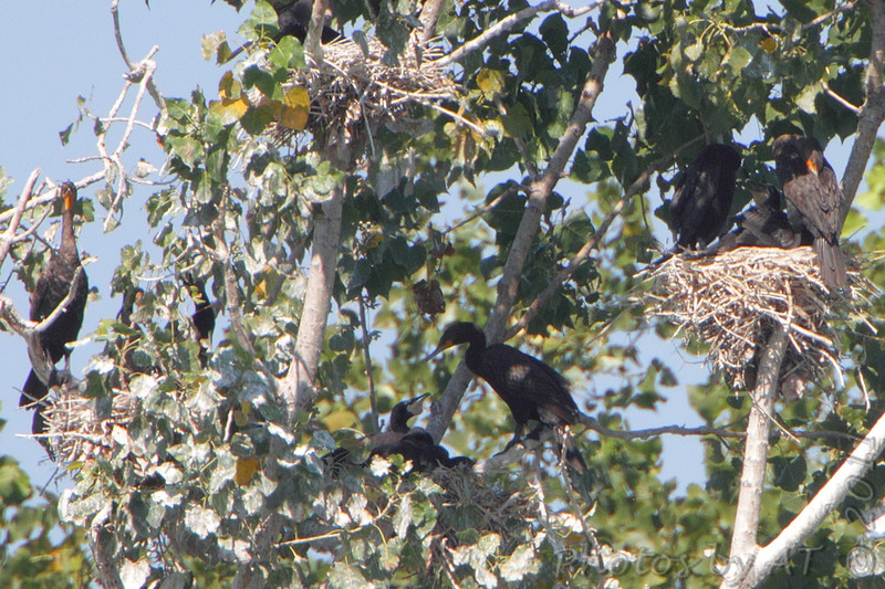 Double-crested Cormorant nests <br /> West end of pipeline pool <br /> Confluence Point State Park