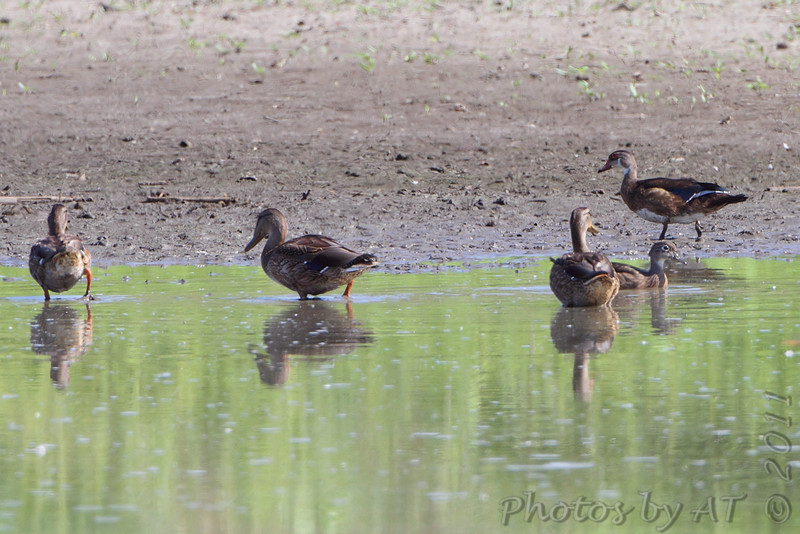 Wood Duck <br /> Pool half way to State Park
