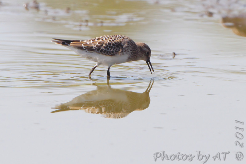 Baird's Sandpiper <br /> Entrance pool <br /> Confluence State Park