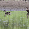 Wood Duck <br /> Pool half way to Confluence State Park