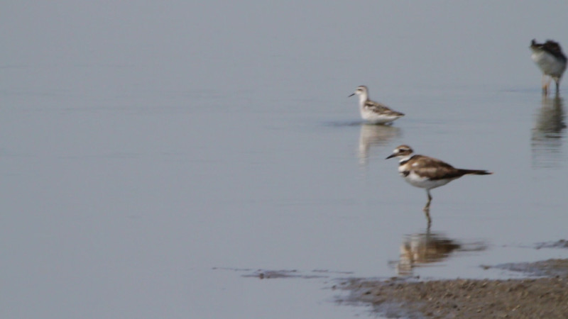 """Red-necked Phalarope <br> Cora Island Road  <br><br><span class=""""noShowSmart""""> <a href=""""/MyKeywords/Bird-Videos/n-gF9bt/i-9S8ZPDX/A""""> <span style=""""color:yellow"""">Click here to open video in lightbox/full screen</span></a> </span>  <span class=""""noShowGallery""""> <a href=""""/Birds/Birding-2011-August/2011-08-27-Cora-Island-Road/i-9S8ZPDX/A""""> <span style=""""color:yellow"""">Click here to open video in lightbox/full screen</span></a> </span>"""