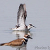 Red-necked Phalarope <br /> Cora Island Road <br /> St. Charles County