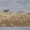 Ruddy Turnstones <br /> Pipeline pool east <br /> Confluence Point State Park