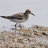 Baird's Sandpiper <br /> pool at park entrance <br /> Confluence Point State Park