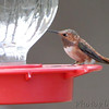 Rufous Hummingbird <br /> Franklin County <br /> 2011-12-03<br /> <br /> No. 309 on my Lifetime List of Bird Species <br /> Photographed in Missouri