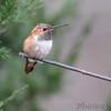Rufous Hummingbird <br /> Franklin County
