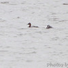 Red-necked Grebe and Canvasback <br /> Ellis Bay <br /> Riverlands Migratory Bird Sanctuary