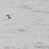 Red-necked Grebe <br /> Ellis Bay <br /> Riverlands Migratory Bird Sanctuary
