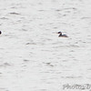 Red-necked Grebe and Canvasback <br /> Ellis Bay <br /> Riverlands Migratory Bird Sanctuary <br /> 2011-12-04<br /> <br /> Red-necked Grebe is No. 310 on my Lifetime <br /> List of Bird Species Photographed in Missouri