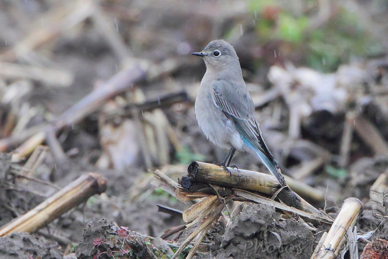 Mountain Bluebird (female) <br /> Bischoff Road <br /> just East of Horseshoe Lake in Illinois