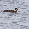 Common Loon <br /> Ellis Bay <br /> Riverlands Migratory Bird Sanctuary