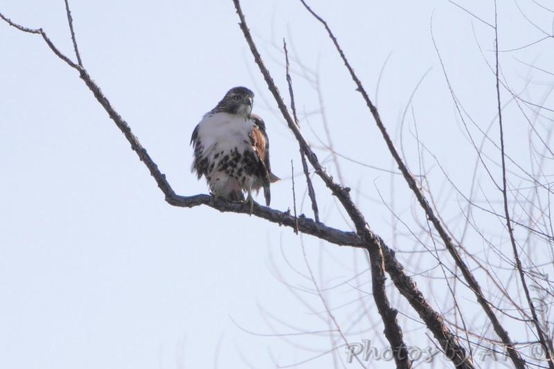 Red-tailed hawk <br /> Spillway Marsh <br /> Riverlands Migratory Bird Sanctuary