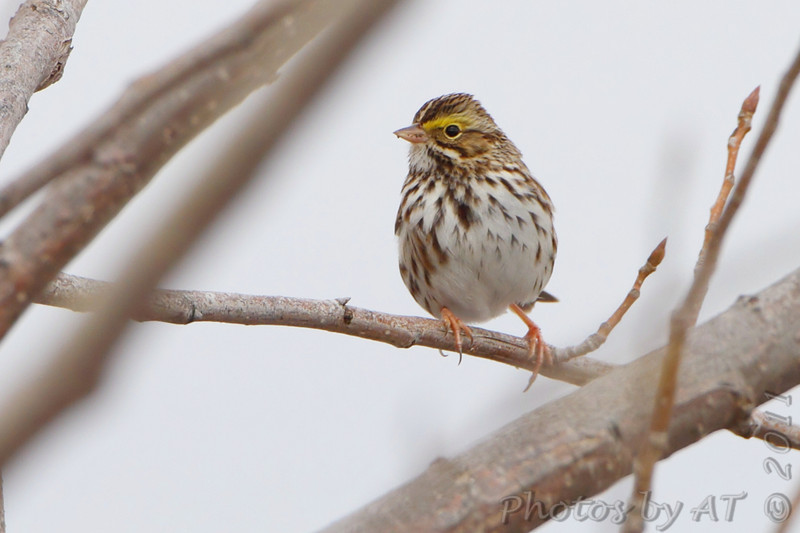 Savannah Sparrow <br /> Confluence Point State Park