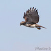 Red-tailed hawk <br /> Spillway Marsh <br /> Riverlands Migratory Bird Sanctuary