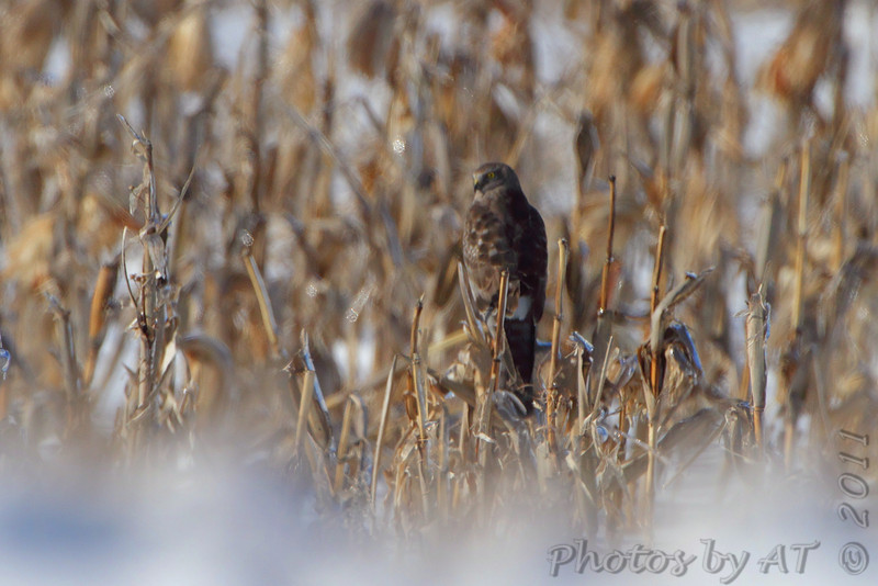 Northern Harrier <br /> Confluence Road <br /> Riverlands Migratory Bird Sanctuary