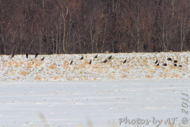 Eastern Wild Turkeys <br /> Confluence Road <br /> Riverlands Migratory Bird Sanctuary