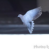 Eurasian Collared-Dove <br /> Payne Road and Hwy 94 <br /> St.Charles County