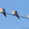Eurasian Collared-Doves <br /> Payne Road and Hwy 94 <br /> St.Charles County