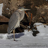 Great Blue Heron <br /> Confluence Road <br /> Riverlands Migratory Bird Sanctuary