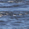 Common Goldeneye <br /> below Melvin Price Dam <br /> Riverlands Migratory Bird Sanctuary