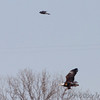 Bald Eagle and Peregrine Falcon  <br /> below Melvin Price Dam <br /> Riverlands Migratory Bird Sanctuary