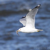 Ring-billed Gull <br /> Ellis Bay <br /> Riverlands Migratory Bird Sanctuary